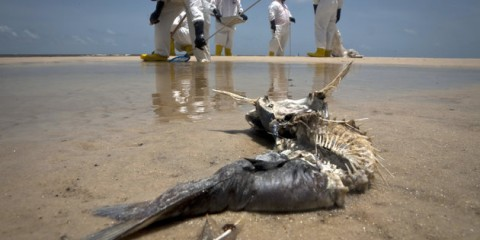 A decomposed fish lies in the water as workers pick up oil balls from the Deepwater Horizon oil spill in Waveland, Mississippi in this July 7, 2010 file photo. April 20, 2011 is the first anniversary of the Deepwater Horizon rig explosion at BP's Macondo undersea well in the Gulf of Mexico. The accident killed 11 workers and triggered the United States' worst offshore oil spill, which was also the biggest ever accidental release of oil into an ocean. Picture taken July 7, 2010. REUTERS/Lee Celano/Files (UNITED STATES - Tags: DISASTER ENERGY ANNIVERSARY ENVIRONMENT ANIMALS)