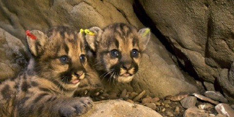 MountainLions